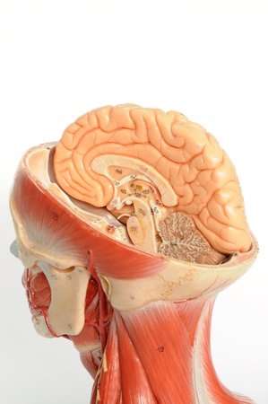 brain stem: close up to human model