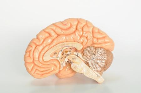 brain stem: close up to brain model