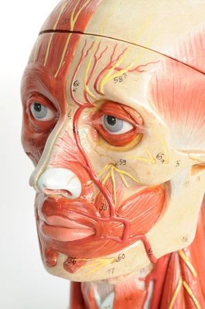 close up to face human model Banco de Imagens - 13495127