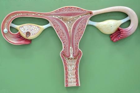 ovary: �tero de humano Foto de archivo