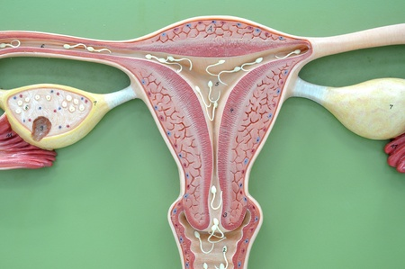 uterus of human  photo
