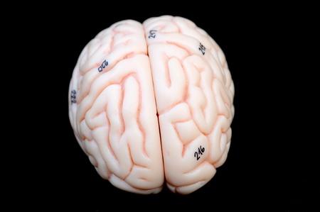 close up to human brain anatomy Stock Photo - 13495017