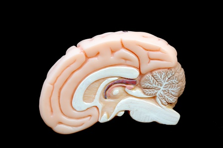 cerebro humano: cerca a la anatom�a del cerebro humano Foto de archivo