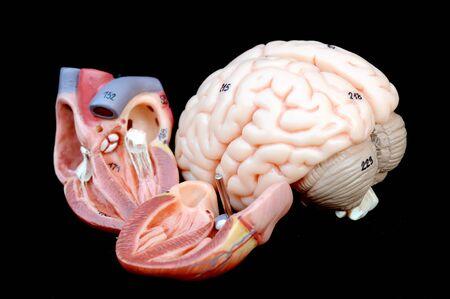 corazón y el cerebro Foto de archivo - 13563336