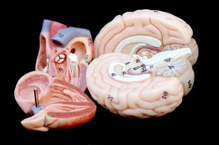 heart and brain Stock Photo - 13563337