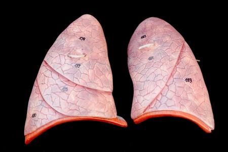 human lung photo