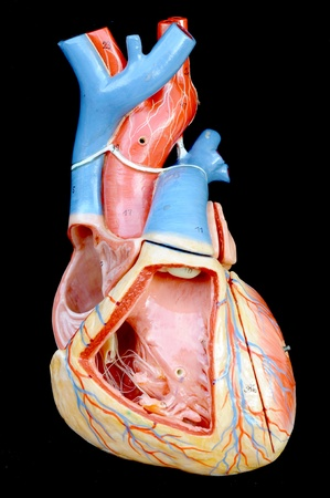 human heart model Stock Photo - 13495109