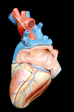 human heart model Stock Photo - 13495077