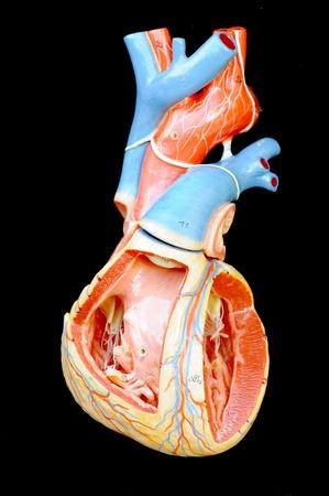 atrium: human heart model