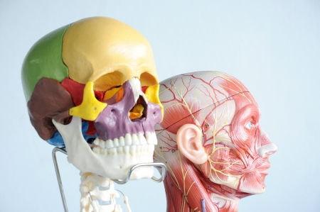 head anatomy model