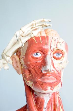 head anatomy and hand bone
