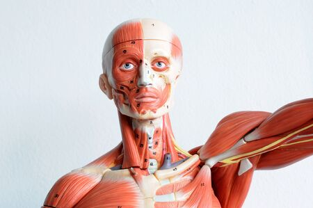 face human muscle Stock Photo - 13930457