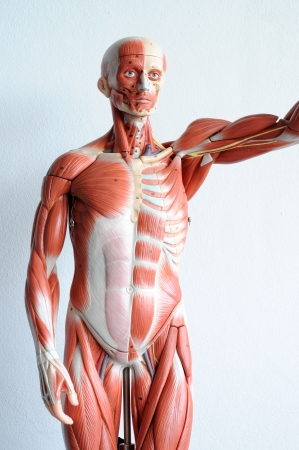 human muscle Stock Photo - 13930540