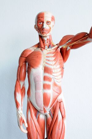 human muscle Stock Photo - 13930539