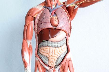 organ donation: human anatomy Stock Photo