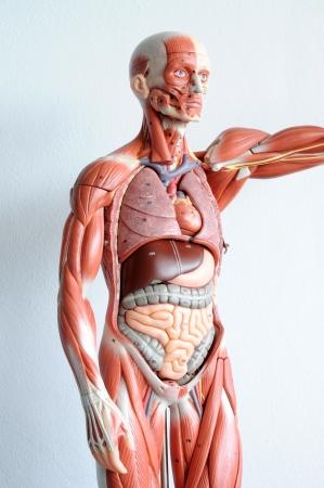 higado humano: la anatom�a humana Foto de archivo