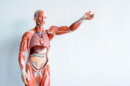 organos internos: la anatomía humana Foto de archivo
