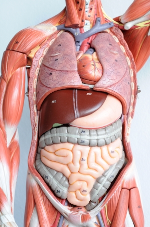 organ: human anatomy Stock Photo