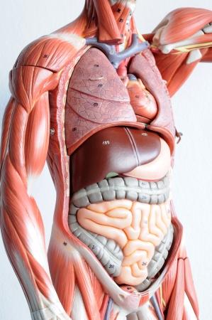 donacion de organos: la anatom�a humana Foto de archivo