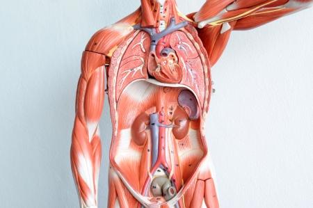 human anatomy: la anatom�a humana Foto de archivo