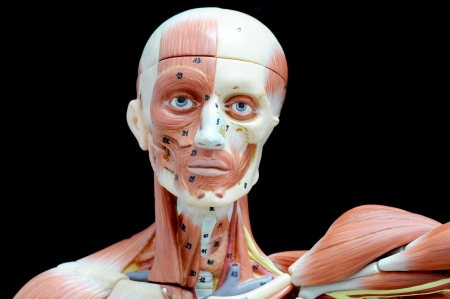 face human muscle Stock Photo - 13930401