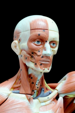 face human muscle Stock Photo - 13930407