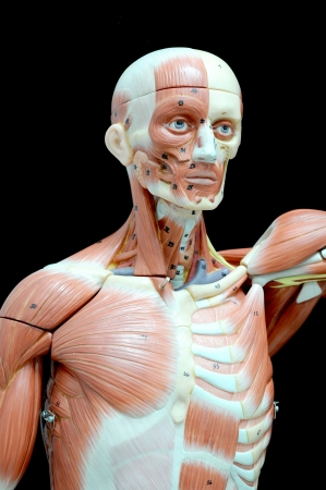 human muscle Stock Photo - 13930548