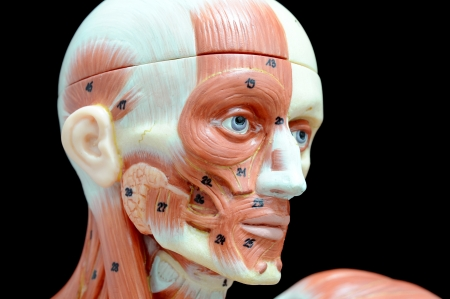 face human muscle Stock Photo - 13930406