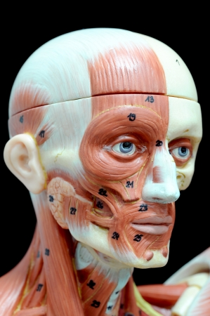 face human muscle Stock Photo - 13930415