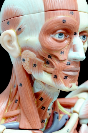 face human muscle Stock Photo - 13930420