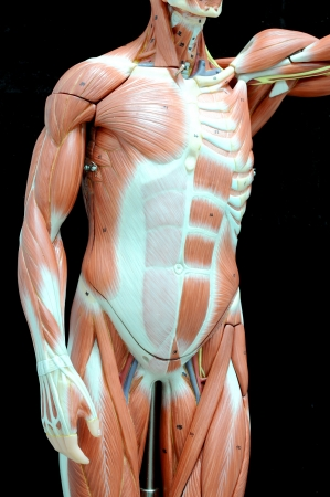 human muscle Stock Photo - 13930552