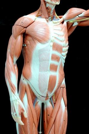 human muscle Stock Photo - 13930552