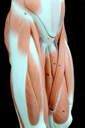 human muscle Stock Photo - 13930549