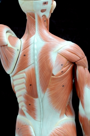 human muscle Stock Photo - 13930550