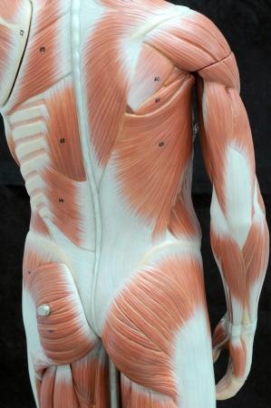 human muscle Stock Photo - 13930557