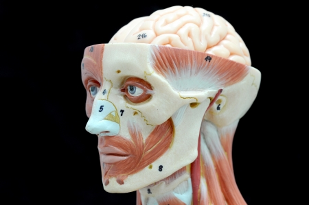 face human muscle Stock Photo - 13930403