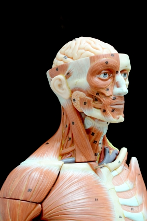 face human muscle Stock Photo - 13930409