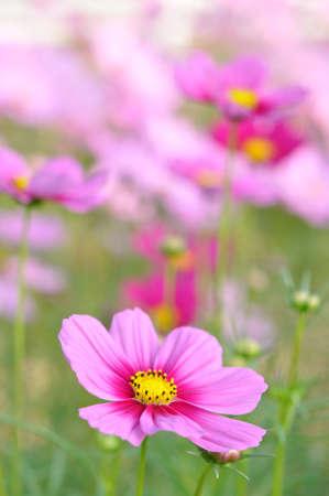 cosmos flowers: beautiful cosmos in the garden Stock Photo