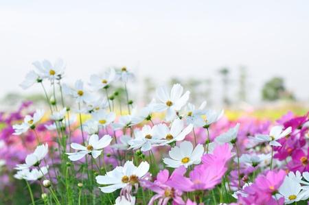 cosmos flower: beautiful cosmos in the garden Stock Photo