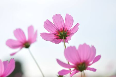 beautiful cosmos in the garden Stock Photo
