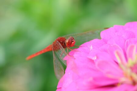 closeup to red dragonfly hold on pink flower  photo