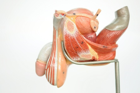 midsagittal: anatomy of penis  Stock Photo