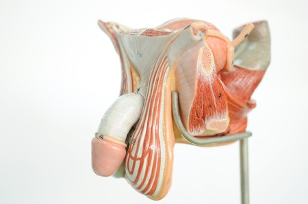ejaculatory: anatomy of penis  Stock Photo