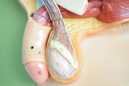 testis: anatomy of penis  Stock Photo