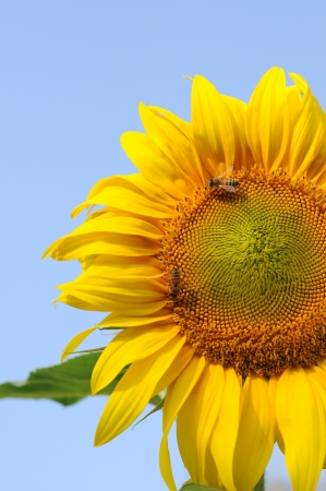 beautiful sunflower Stock Photo - 17765717