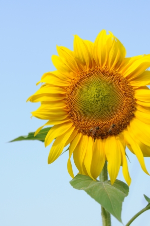 beautiful sunflower Stock Photo - 17765655
