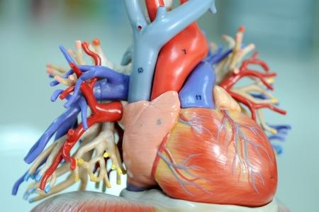 corazon humano: corazón del modelo