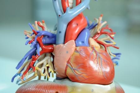 humane: heart model  Stock Photo