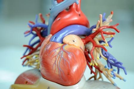 partes del cuerpo humano: corazón del modelo