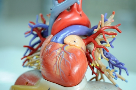 human internal organ: heart model  Stock Photo